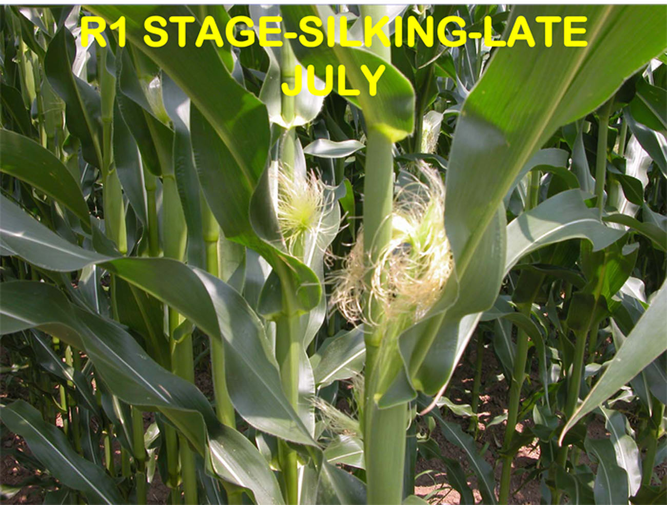 anthesis in maize Abstract stress caused by early weed competition is known to delay the rate of maize development which may result in a decrease in kernel number kernel number in maize is correlated negatively with the length of the anthesis-silking interval (asi.